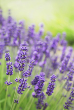 Lavender- Aromatherapy and Massage Therapy